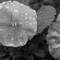 Black And White Dewy Pansy 1 by Amy Fose