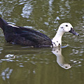 Black And White Duck Reflections by Venetia Featherstone-Witty