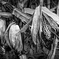 Black And White Ear Of Corn On The Stalk by Randall Nyhof