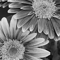 Black And White Gerber Daisies 2 by Amy Fose