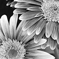 Black And White Gerber Daisies 3 by Amy Fose