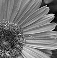 Black And White Gerber Daisy 5 by Amy Fose