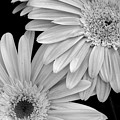 Black And White Gerbera Daisies 1 by Amy Fose