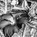 Black And White Hibiscus by Sherman Perry