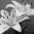 Black And White Lilies 1 by Amy Fose