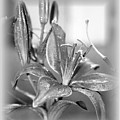 black and White Lily by Emily Kelley