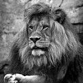 Black And White Lion Pose by Steve McKinzie