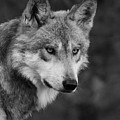 Black And White Mexican Wolf #4 by Judy Whitton