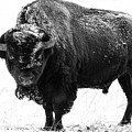 Black And White Of A Massive Bison Bull In The Snow  by Tony Hake