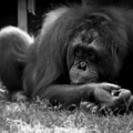 Black And White Orangutang by Emily Kelley