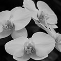 Black And White Orchids by Dawn Thomure