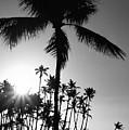 Black And White Palm Tree by Pamela Walton