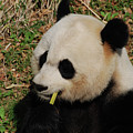 Black And White Panda Bear Eating Green Bamboo Shoots by DejaVu Designs