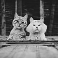 Black And White Portrait Of Two Aadorable And Curious Cats Looking Down Through The Window by Srdjan Kirtic