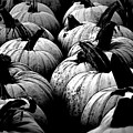 Black And White Pumpkins by Bill Ardern