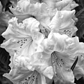 Black And White Rhododendron by Carol Groenen