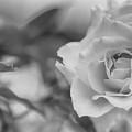 Black And White Rose by Olga Hamilton
