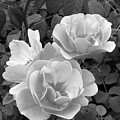 Black And White Roses 1 by Amy Fose