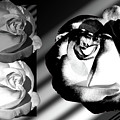 Black And White Roses by Phyllis Denton
