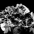 Black And White Roses by Will Borden