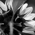 Black And White Sinflower 6 by Mellissa Ray