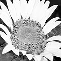 Black And White Sunflower Face by Terri Morris