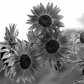 Black And White Sunflowers by Amy Fose
