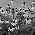 Black And White Susans by Luciana Seymour