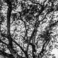 Black And White Tree 2 by Totto Ponce