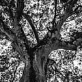 Black And White Tree 4 by Totto Ponce