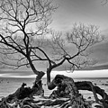 Black And White Tree  by Andre Distel