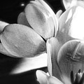 Black And White Tulips #4 by Jeanne Fullerton
