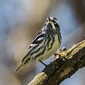 Black And White Warbler by Susan Grube