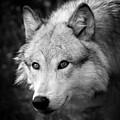 Black And White Wolf by Steve McKinzie