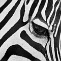 Black And White Zebra Close Up by Pierre Leclerc Photography