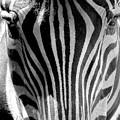 Black And White Zebra  by Lori Pessin Lafargue