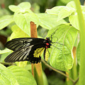 Black And Yellow Butterfly by Karen Foley