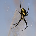 Black And Yellow Garden Spider by Robert Potts