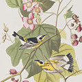 Black And Yellow Warblers by John James Audubon
