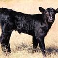 Black Angus Baby Calf by Jeanie Mann