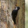 Black-backed Woodpecker by Doug Herr