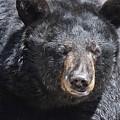 Black Bear 1 by Flo McKinley