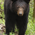 Black Bear At Cades Cove by Dick Hudson