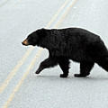Black Bear Crossing The Road  by Pierre Leclerc Photography