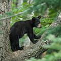 Black Bear Cub by Craig Voth