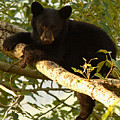 Black Bear Cub Resting On A Tree Branch by Max Allen