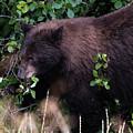Black Bear Eating A Snack by Jennifer Ancker