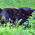 A Florida Black Bear by D Hackett