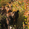 Black Bear by Greg Payne