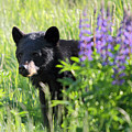 Black Bear Hiding Behind Lupines by Pierre Leclerc Photography